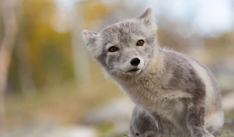 фокс, серый, arctic fox, lisenka, animal, детёныш, summer, фон, размытость, арта, little