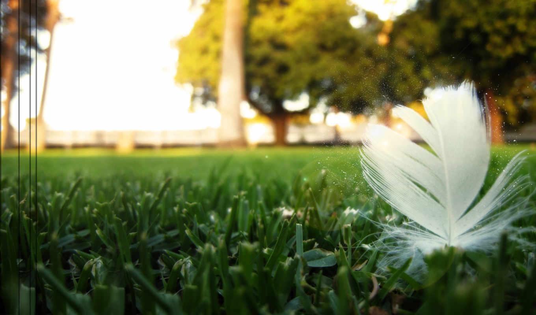 grass, wallpapers, plumelet, траве, перышко, desktop, wallpaper,