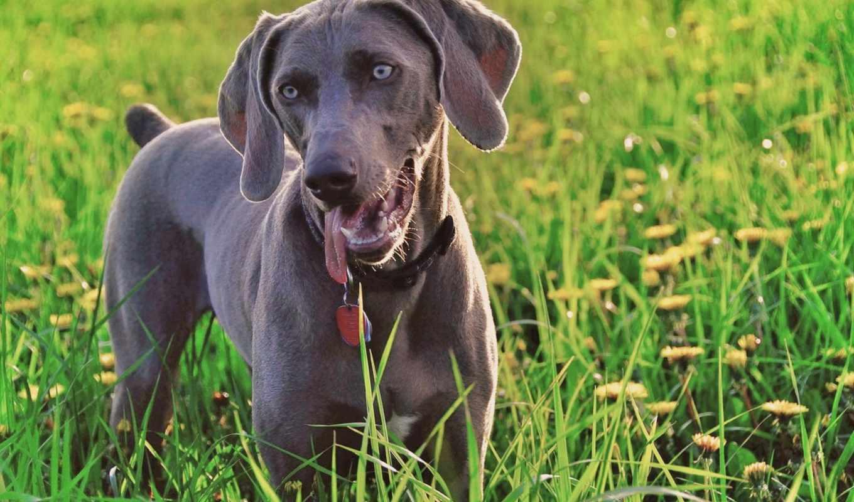 трава, собака, зелень, смотрит, weimaraner, одуванчики, картинка,