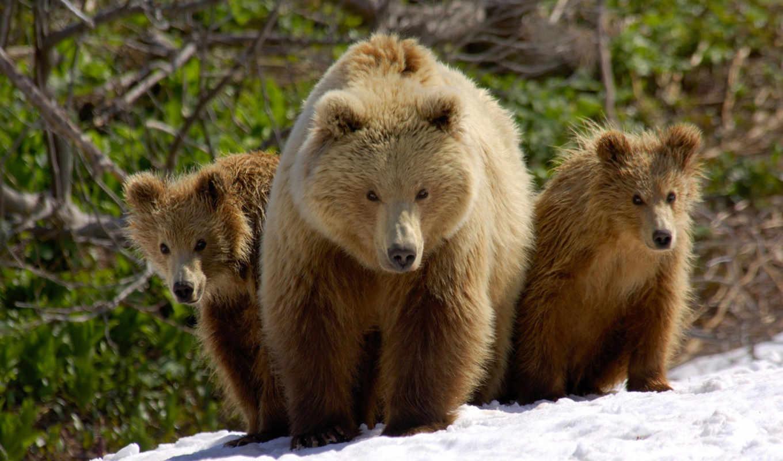 медведи обои рабочий стол