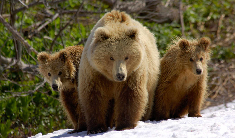 медведь, бурый, медведи, животные, медведя, вода, морда,