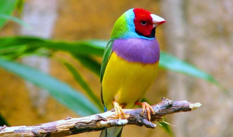 птиц, amadina, və, que, ткачиков, гульдова, вьюрковых, лат, семейства,
