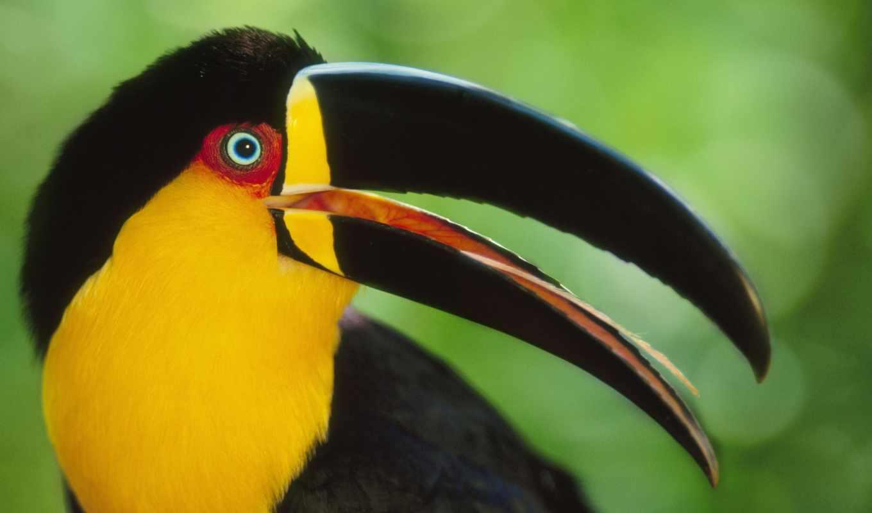 toucan, птица, клюв, большой, токо, который, ramphastos, обитает, тукан,,