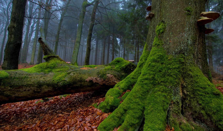 мох, деревья, дерева, лес, огромный, туман, корень, осень, листва, стволы, грибы, природа,
