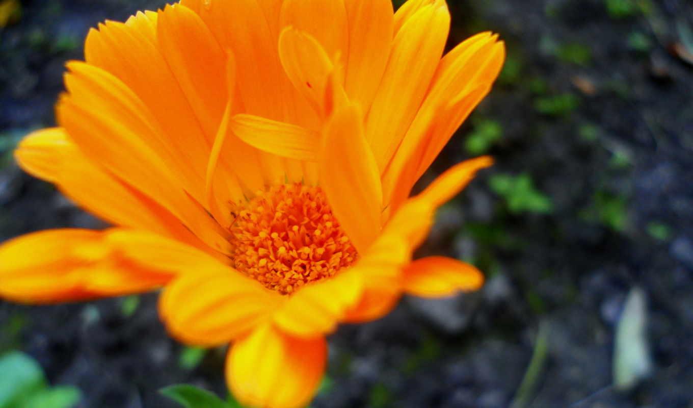 разделе, cvety, ораньжевый, makro, цветок,