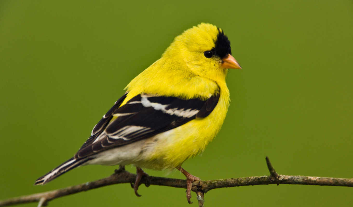 yellow, птица, птицы, перья, finches, black, finch, white,