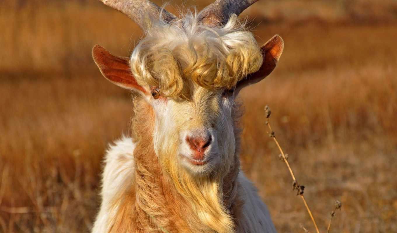 красивый, козел, морда, рога,