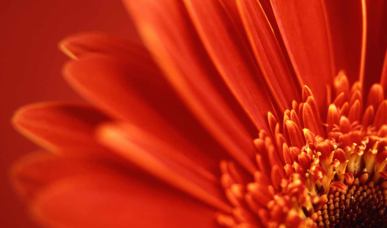 wallpaper, vista, wallpapers, gerbera, red, hd, and, daisy, цветы, flowers, windows, nature,