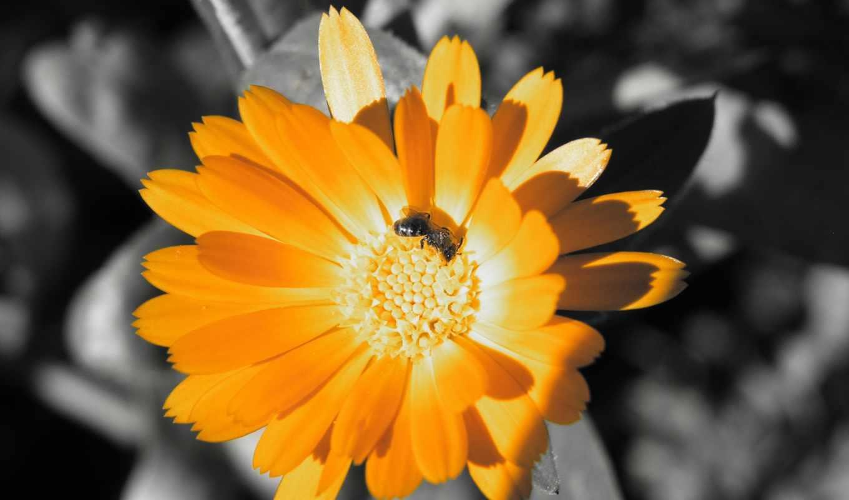 пчела, календуле, оранжевый, цветок,