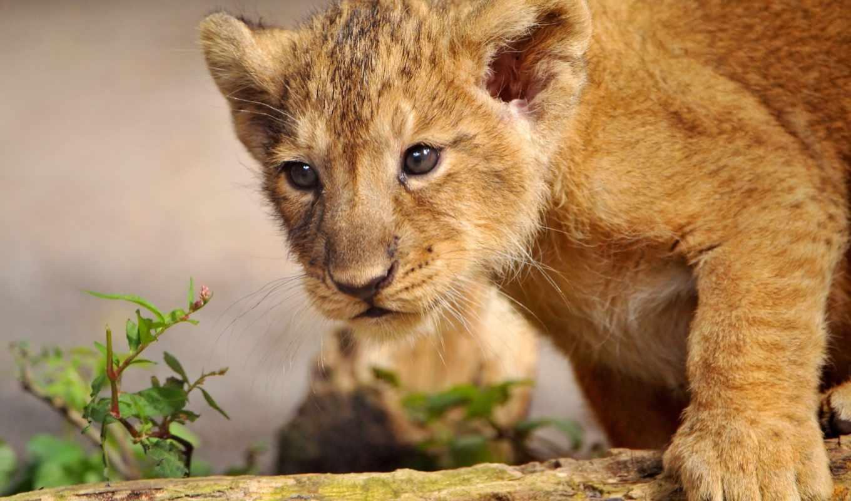 детёныш, животные, львенок,