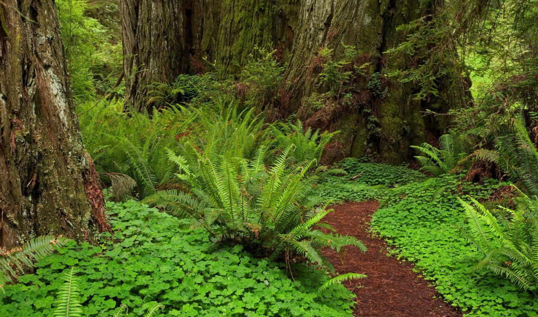 лесная, тропинка, стволы, деревьев, папоротник,