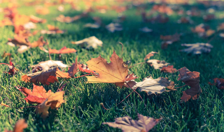 боке, трава, клен, листья, фото, осень,