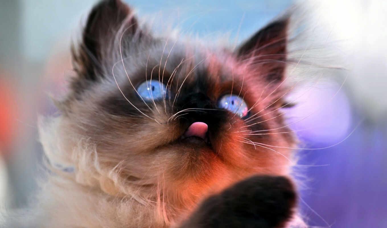 широкоформатные, смешные, кот, красивые,  высокое, количество,