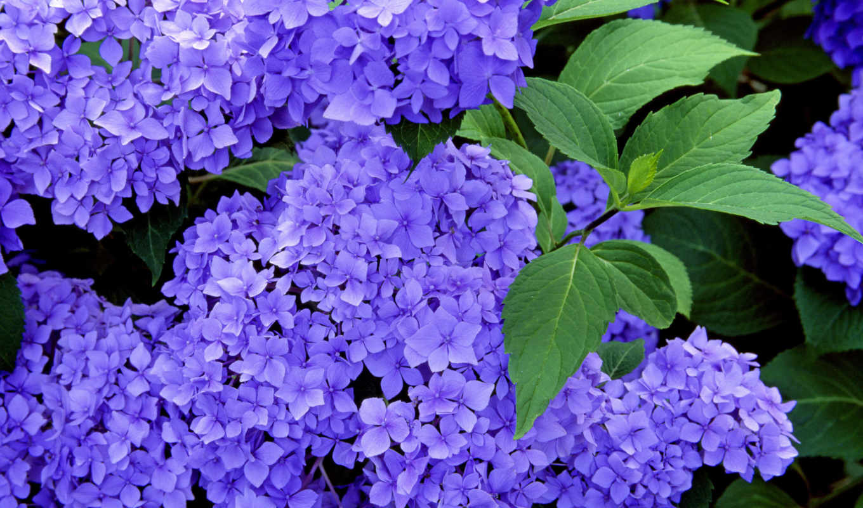 гортензия, гортензии, цветки, цветы, соцветия, форма, особенный, взгляд,