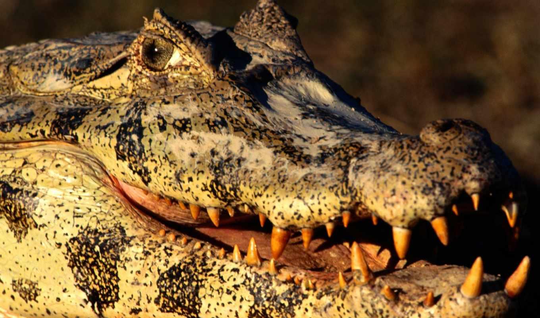 zhivotnye, крокодил, заставки, крокодилов, самые,