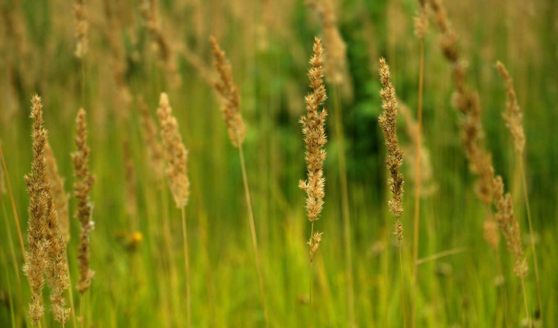 природа, колосья, заказу, летние, summer, поле, gold, трава, ears,