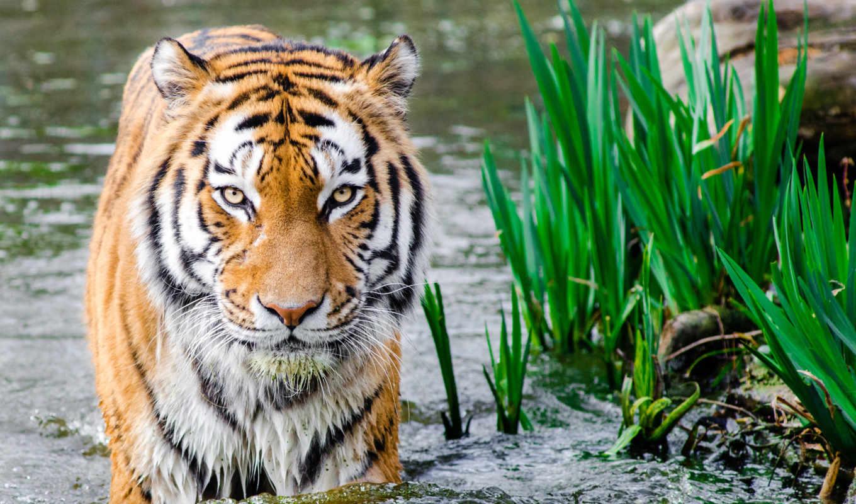 животные, malaysia, тигр, photography, animals, images, animal,