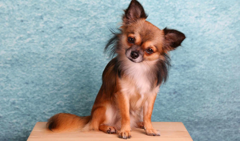 чихуахуа, собака, animal, sit, little, could, sitting, длинношерстный, сидя