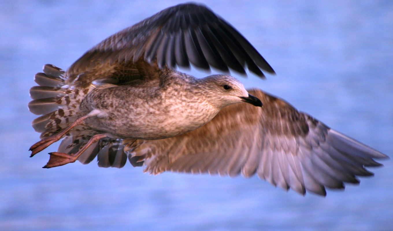seagull, wallpaper, desktop, zapkolik, flight, comments, птица, background, views, ve, size, speed, free, взмах, bird, животными, крыльями, морская,