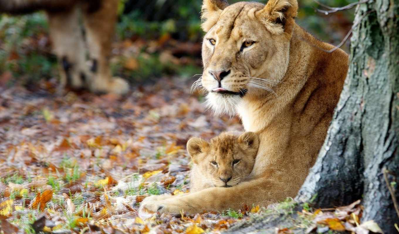 львица, львенок, lion, львы, zhivotnye, материнство, осень,