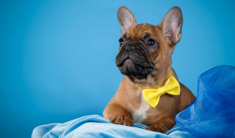 pantalla, fondos, bulldog, french, fondo, doll, perro, frances, zhivotnye,