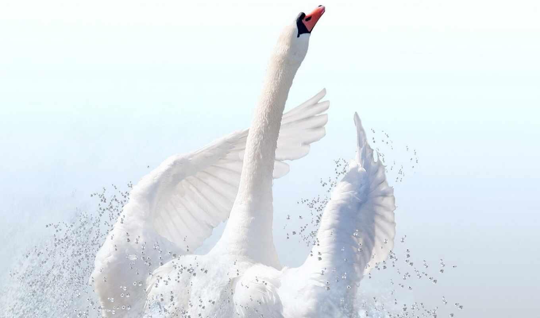 лебедь, tundra, птица