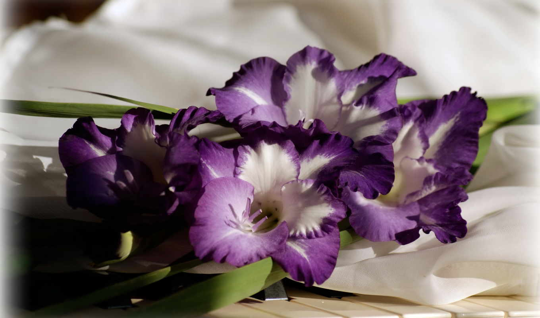гладиолусы, цветы, фиолетовый, гладиолус,