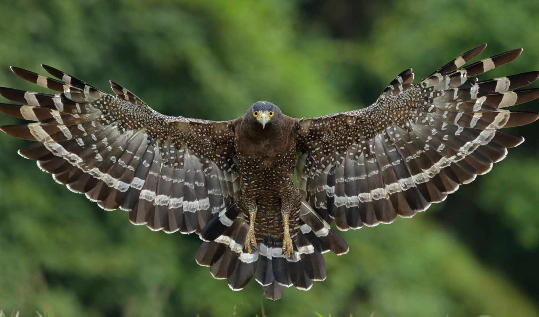 hawk, птица, wings, крылья, хохлатый, полет, desktop,