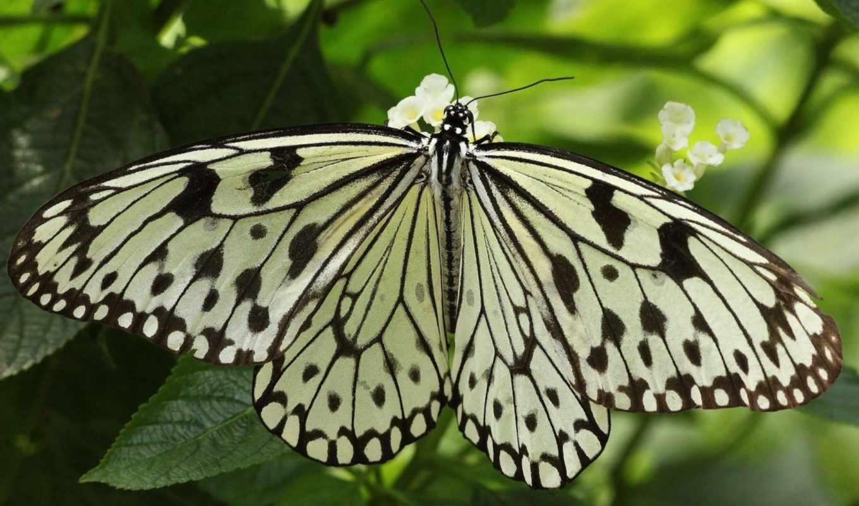 бабочка, насекомое, листья, картинка, вертикали, имеет, горизонтали,