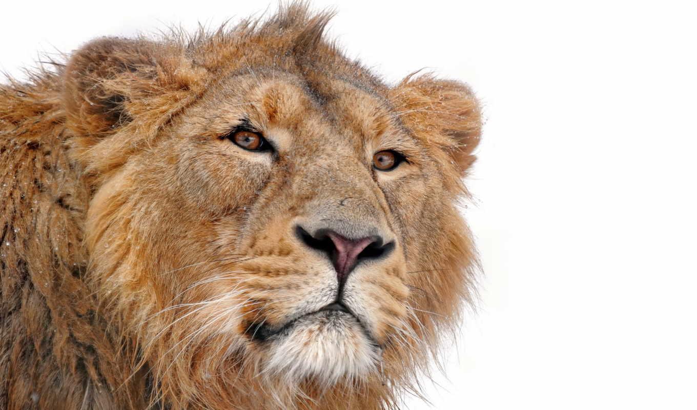 lion, грива, белом, fone, смотрит, хищник, морда, молодой, усы,