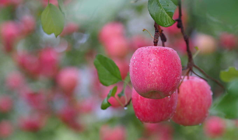 яблоки, ветка, розовые, листья, плоды, ветки,