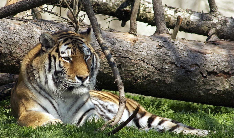 тигр, диких, животных, тигров, трава, картинка,