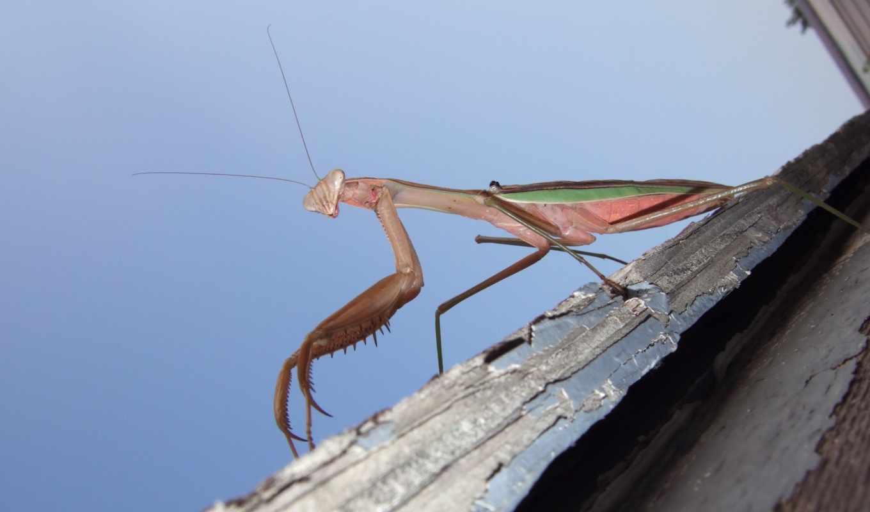 насекомое, mantis, дек, гладь, ящер, насекомые,