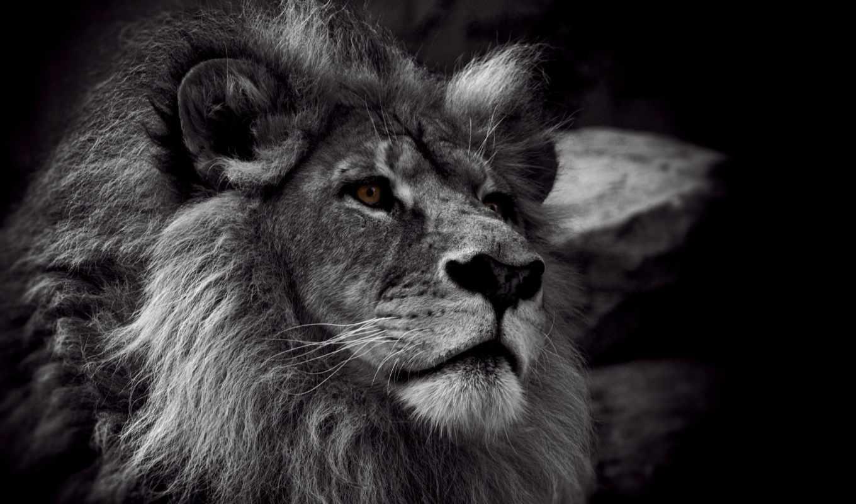 lion, white, чёрно,