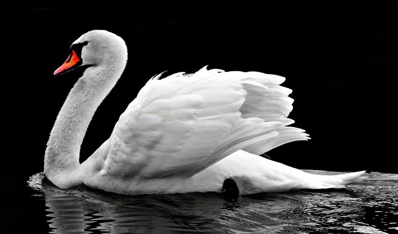 лебедь, white, выставка, black, repevskii, февраль, библиотека, род, district