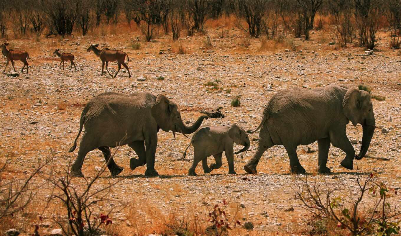 слон, семья, animal, растение, основы, животные, african, narrow, shirokoformatnyi