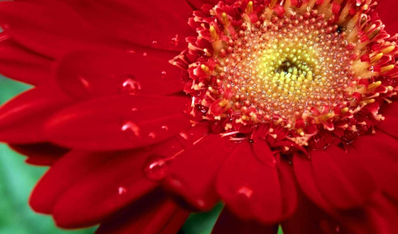 цветы, красная, affresco, lbook, dew, картинка, pocketbook, red, zinnia, заставки, resimleri, öldü, çiçek, красное, гербера, цинния, güzeller, olduk,