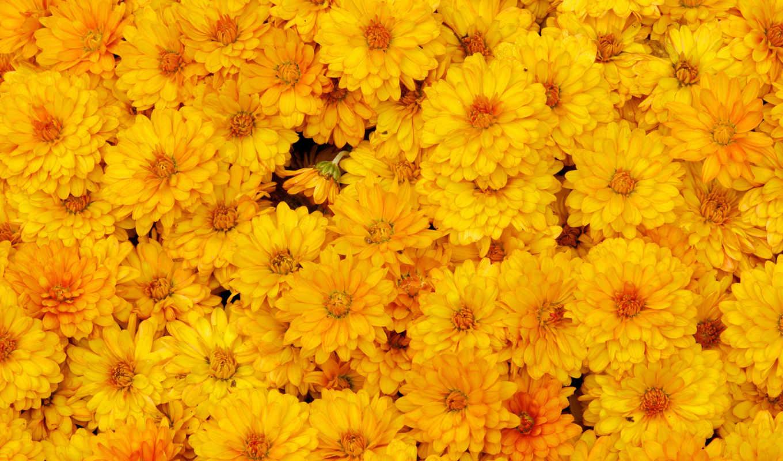 цветы, желтые, хризантемы, макро,