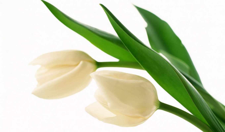 tulpen, blumen, bilder, цветы,