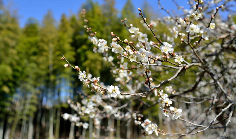 цветы, цветение, дерево, весна, картинка, картинку,