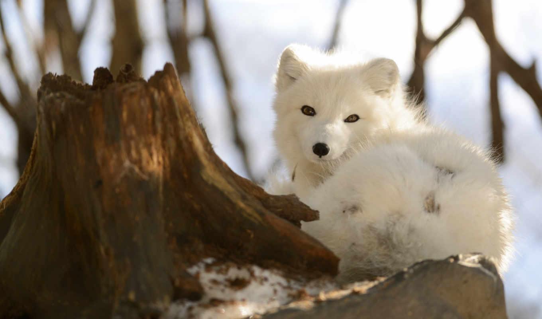 fox, arctic, зима, полярная лиса, снег,
