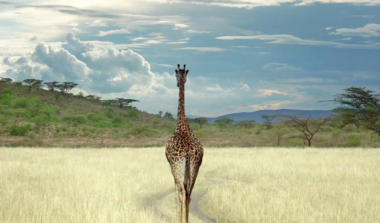 жираф, giraffes, baby, об, pinterest, cute, more, see, african, world,