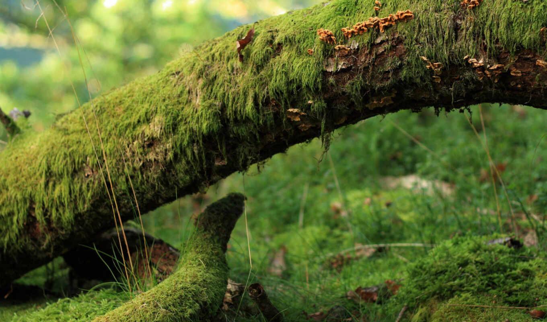дерево, мох, лес