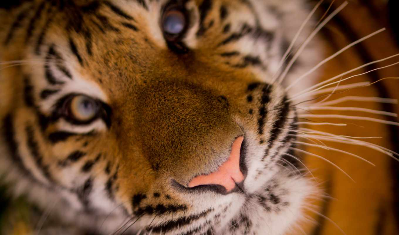 ,тигр,морда,усы,