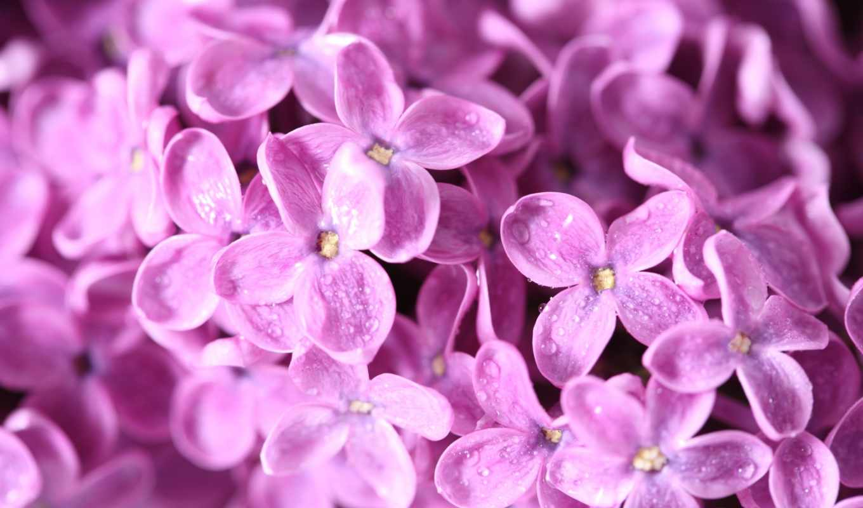 сиреневый, цветы, весна, макро,