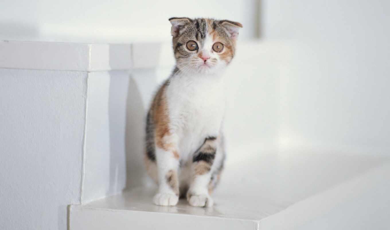 ,Котенок, белый, пушистый, шляпа, глаза,