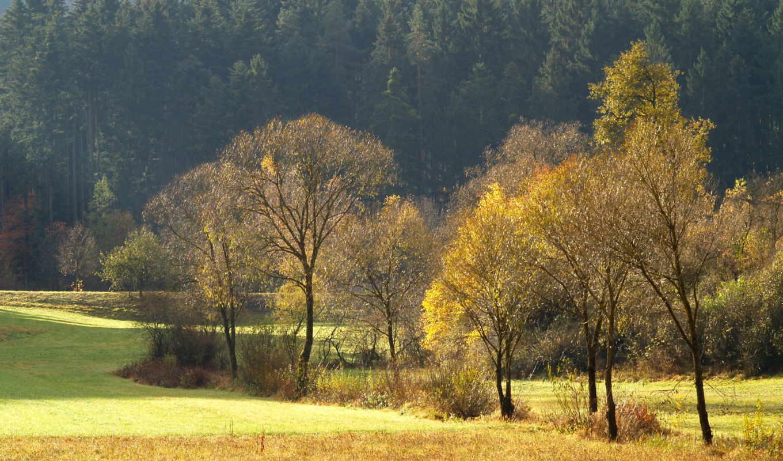 лес, trees, осень, поле, поляна, хвойные, золотая, хвойный,