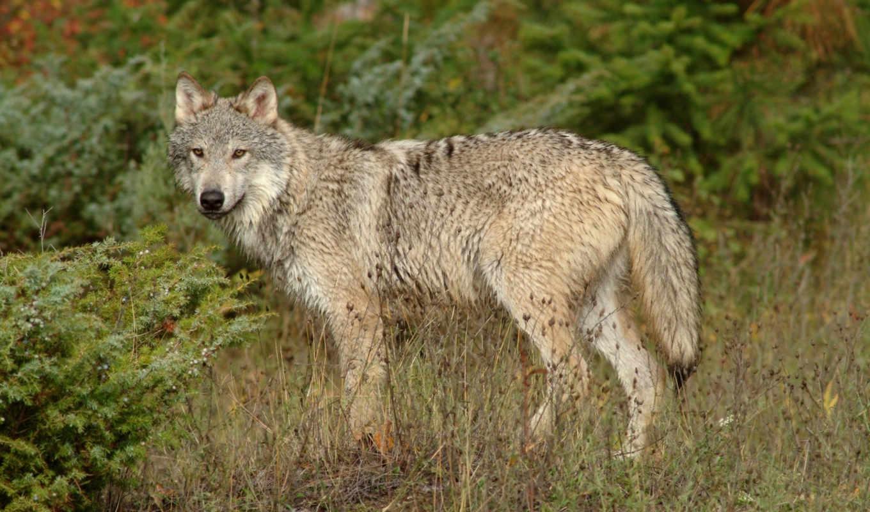волк, животные, волки, одиночка, animals, chat, меня, картинка,
