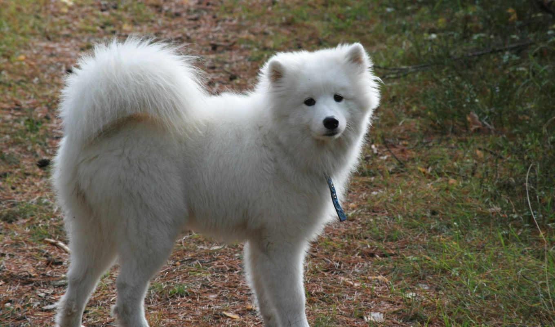 собака, самоед, белая, высоком, собаки,