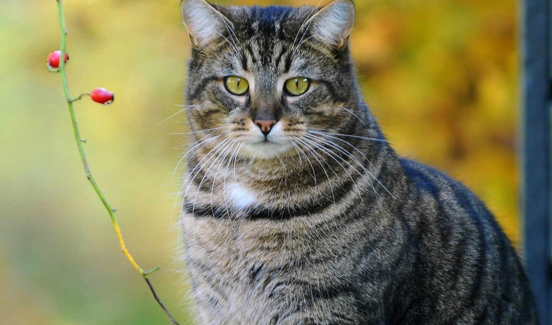кот, branch, ягоды, striped, котэ,